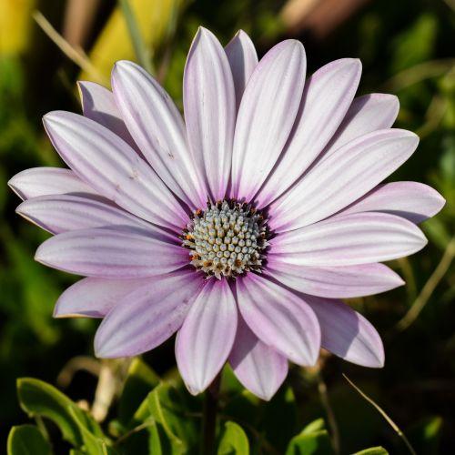 african Daisy,osteospermas,Daisy,augalas,gėlė,gamta,gėlių,žiedas,violetinė,žydėti,žiedlapis,flora,Kipras