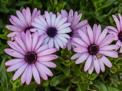 african Daisy,osteospermas,gėlė,violetinė,gamta,pavasaris,augalas,žiedas,sodas