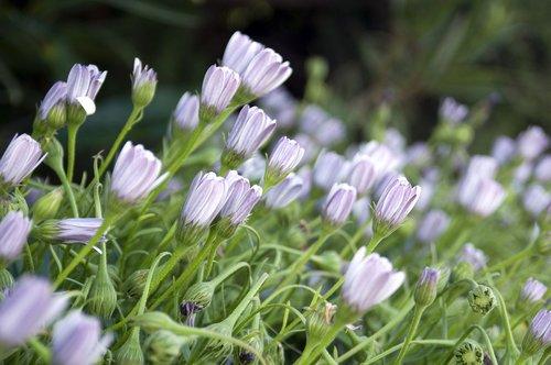 Afrikos ramunės, Daisy, osteospermum, gėlė, pobūdį, floros, Sodas, vasara, žiedlapiai, pavasaris, botanika, augalų, žalias, violetinė, rausvai violetinė spalva