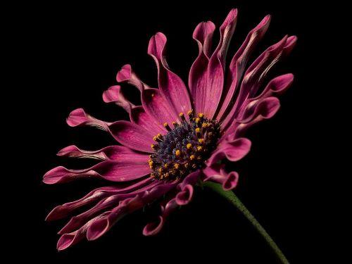 viršukalnės krepšys,rožinis,osteospermas,pelėsių ramunės,paternoster krūmas,asteroidas asteraceae,kalnų daisy,bornholm marguerite,gėlė,farbenpracht,gėlės,patalynės augalas,sodo augalas,dekoratyvinis augalas,osteospermum fruticosum,rožinės sūkurys,african Daisy,gėlė,gamta,flora,gražus,spalva,žydėti,žiedas,žydėti,augalas,violetinė