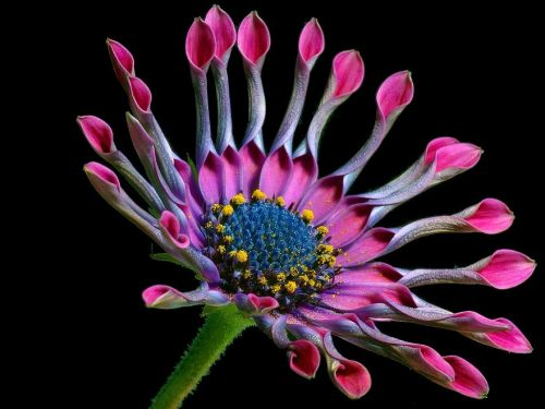 african Daisy,gėlė,gamta,flora,gražus,spalva,žydėti,žiedas,žydėti,augalas,violetinė,viršukalnės krepšys,rožinis,osteospermas,pelėsių ramunės,paternoster krūmas,asteroidas asteraceae,kalnų daisy,bornholm marguerite,gėlė,farbenpracht,gėlės,patalynės augalas,sodo augalas,dekoratyvinis augalas,osteospermum fruticosum,rožinės sūkurys