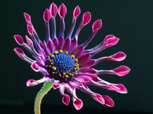 gėlė, gėlių, augalas, arabų & nbsp, daisy, pietų Afrikos & nbsp, daisy, Mėlyna & nbsp, Daisy, mėlynakiai namas, viešasis & nbsp, domenas, tapetai, fonas, makro, uždaryti & nbsp, žydėti, žiedas, violetinė, žiedlapiai, osteospermas, african Daisy gėlė