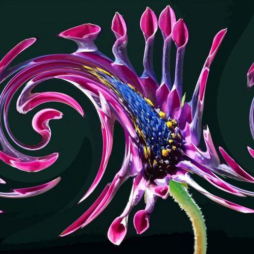 Afrikos, Daisy, gėlė, vaizdas, pasukti, poveikis, padengti, african Daisy twirl