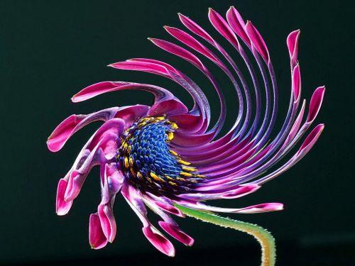 Afrikos, Daisy, pasukti, gėlė, african Daisy twirl