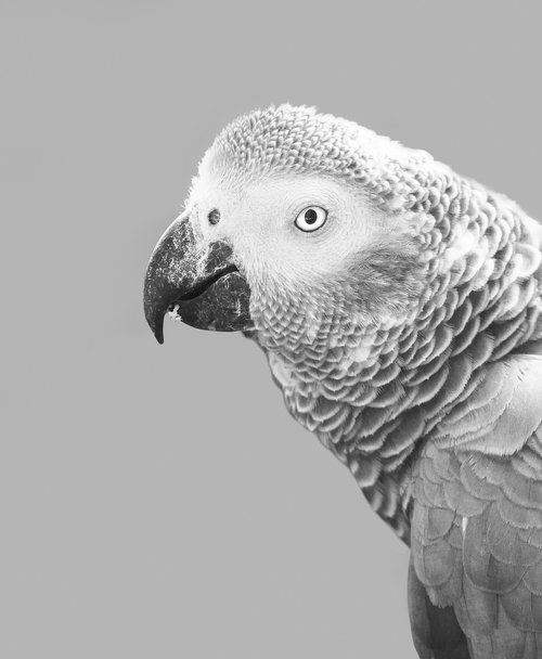 Afrikos pilka papūga, Parrot, paukštis, Afrikos, pilka, pilka, snapas, gyvūnas, plunksna, augintinė, portretas, pobūdį, baltos spalvos, laukinių, Tropical, Afrikos pilka, Afrikoje, plunksnų, egzotiškas, akių, ieško, galva, Gyvūnijos, kalbos