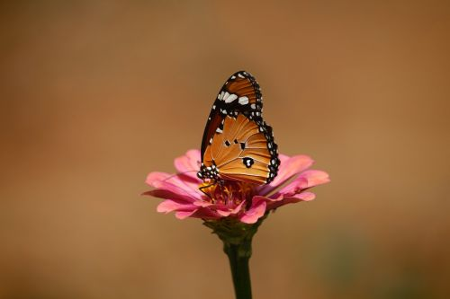 arabų monarchas,paprastas tigras,danaus chrysippus,paprastas,tigras,drugelis,monarchas,danaus,vabzdys,Afrikos,gamta,laukinė gamta,gėlė,spalvinga,oranžinė,sparnas,sodas,šviesus,natūralus,laukiniai,asija,parkas,lauke,aplinka