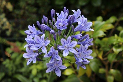 Agapanthus, Afrikos lelija mėlyna, žydėjimo, Agapanthus, gėlės