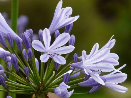agapanthus,juvelyriniai lelijos šiltnamiai,agapanthoideae,lelija,mėlynas,dekoratyvinis augalas,meilės gėlė,agapanthus africanus,žiedynas
