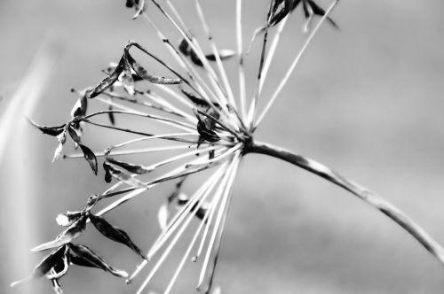 agapanthus & nbsp, afrikanus, lelija nl, augalai, fonas, subtilus, svajingas, dizainas, minkštas, šviesus, švelnus, flora, agapanthus juodai balta