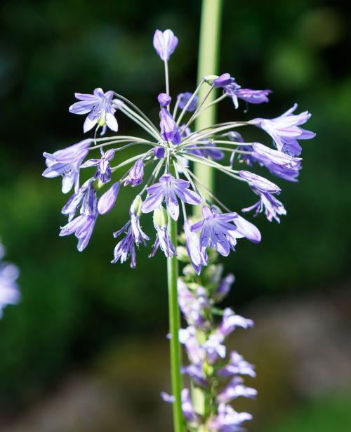 agapanthus, gėlė, gėlės, lelija nl, mėlynas, augalas, gėlių, gamta, botanikos, graži, gražus, Laisvas, viešasis & nbsp, domenas, agapanthus, lilija iš nilo