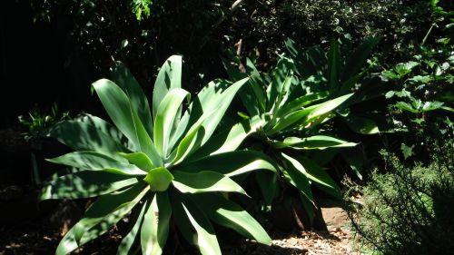 agavė, Rokas, augalas, sodas, agavė