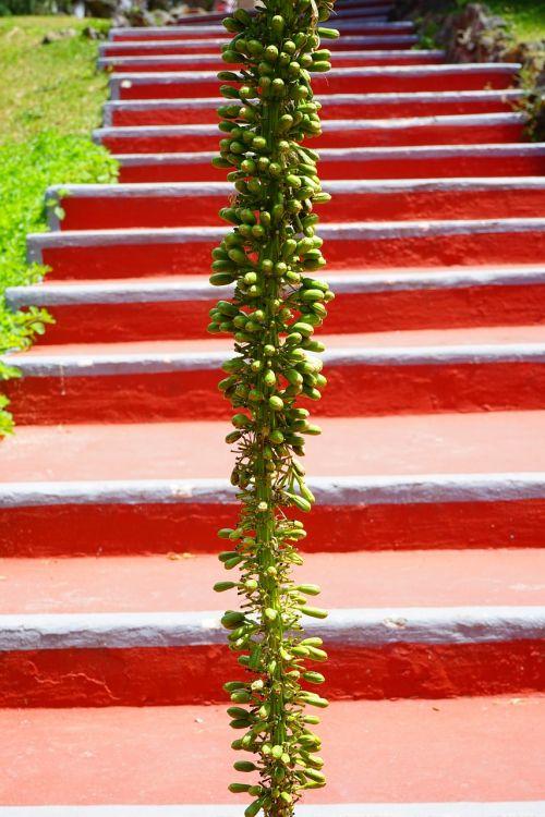 agavė,žiedynas,augalas,laiptai,raudona,žalias,drakonas medis-agavas,atsiradimas,palaipsniui,Agave attenuata,agavengewächs,liliaceae,gooseneck-agavė,budas