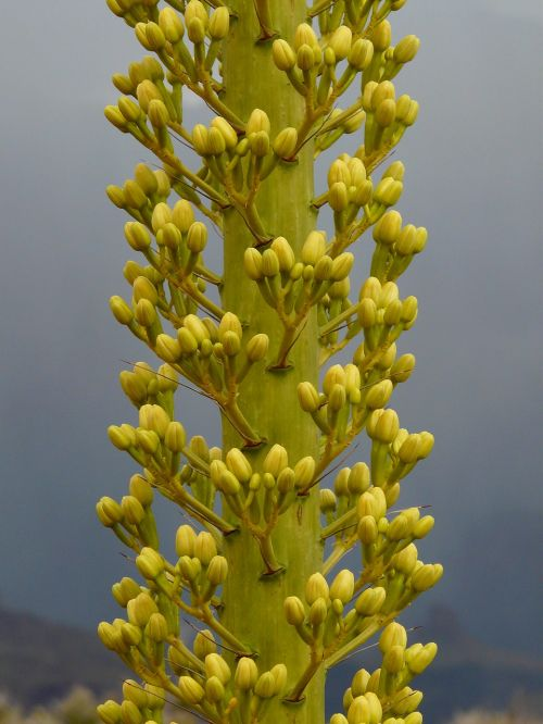 agavė,Utah Agave,Didysis kanjonas,augalas,gėlė,žiedas,žydėti,gėlės,stiebas