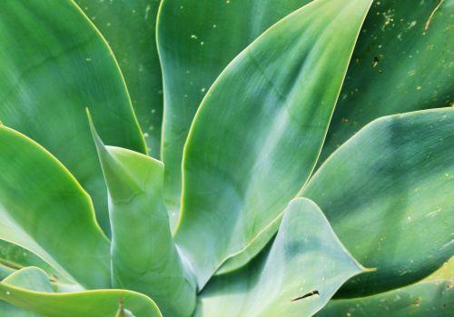 augalas, agavė, sultingas, lapai, platus, butas, žalias, Agave attenuata