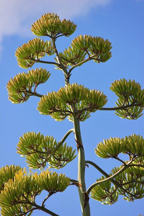 agavos žydėjimo būsenoje, gėlės, Žiedynai, Agave, egzotiškas, vasara, spalvingas, didelis, augalų, Agave americana