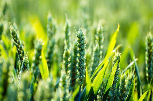 Žemdirbystė, javai, laukas, gyvenimo būdas, žalias, makro, grūdai, sezonai, vasara, Žemdirbystė