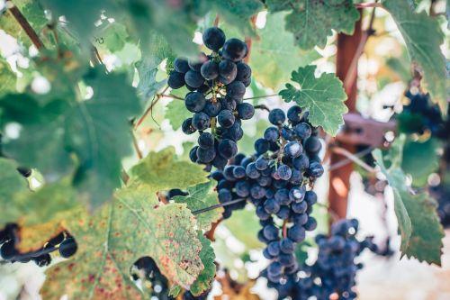 Žemdirbystė,klasteris,spalva,kritimas,ūkis,flora,maistas,vaisiai,Vynuogė,vynuogių,augimas,lapai,lauke,ganykla,vasara,vynmedis,vynuogynas,vynas,vyno fabrikas