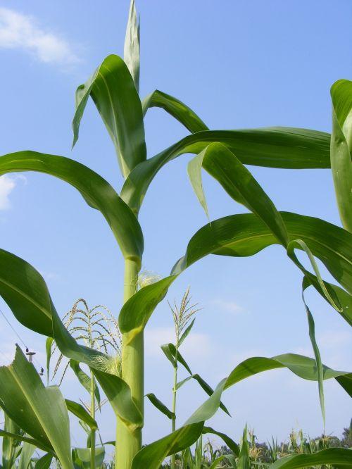 Žemdirbystė,cob,kukurūzai,žalias,labirintas,žaliavinis,augalai