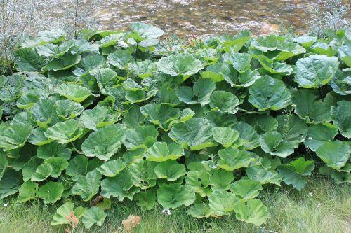 albus,butterbur,milžinas,gorj,žalias,hybridus,lapai,petazitai,romanija,sohodolis,augalai