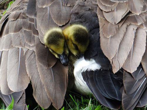 visi & nbsp, tucked & nbsp, plunksnos, mama & nbsp, žąsis, goslings, gamta, gyvūnai, visi tvirtinami!