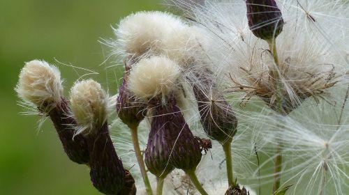 Allgäu,gėlės,dyer sado,serratula tinctoria,išblukęs
