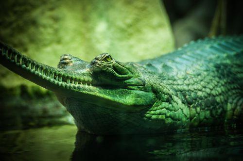 aligatorius,gyvūnas,gyvūnų fotografija,Iš arti,krokodilas,pavojingas,plėšrūnas,ropliai,dantys,vanduo,laukinis gyvūnas,laukinis gyvenimas,laukinė gamta