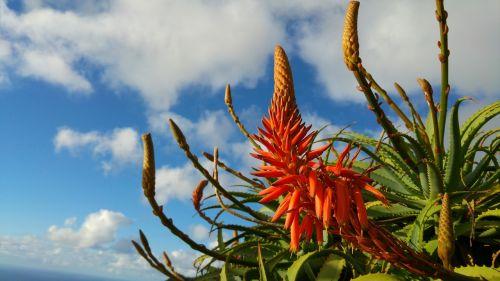Aloe,gėlė,Madeira,agavengewächs,raudona gėlė,alavijo žydėjimas,žydėjimo alavijo,Madeira gėlė