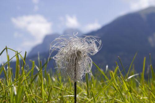 Alpių,Alpių gėlė,Alpių anemonis,gėlė,žiedas,žydėti,paprastas pasque gėlė,pasqueflower,išblukęs,anemonis alpina,Alpių augalas,strubabua,gamta,gamtos apsauga