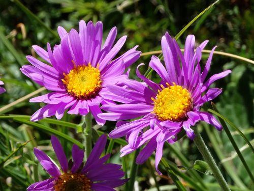 alpinis asteris,purpurinė gėlė,ganykla