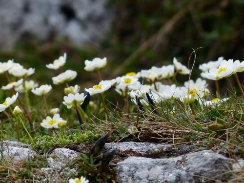 Alpių buttercup,žiedas,žydėti,balta,ranunculus alpestris,hahnenfußgewächs,ranunculaceae,Alpių gėlė,Alpių augalas