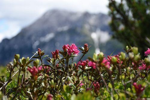 Alpių rožė,sniego laukai,kalninė pušis,gėlės,almrausch,Alpių gėlė,Alpių augalas,almenrausch,aukštas