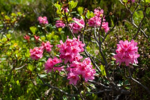 Alpių rožė,almrausch,gėlė,gamta,kalnų gėlė,augalas,rožinė gėlė,vasara,laukinė gėlė,rožinis