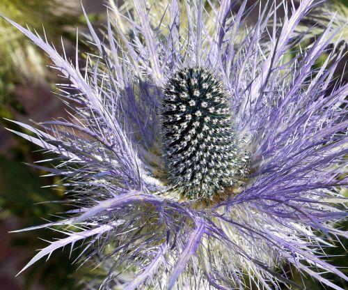 Alpių drakonas,žiedas,žydėti,stūmoklis,pinnate,Dantyta pitoresk,kalnų augalas,Alpių regionas,Alpių,Šveicarija,flora,Edeldistel,Alpių gėlė,violetinė,eryngium alpinum,žiedynas
