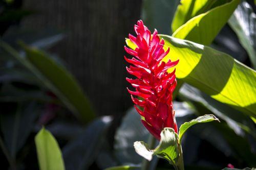 alpínia purpurata,egzotiška gėlė,gamta,grožis,sodas,pavasaris,gražus,spalvinga gėlė,gėlės,gėlė,augalas,botanika,apdaila,augalai,dekoratyvinis,aplinka,Kvepalai,egzotiškas,dekoratyvinė gėlė,botanistas,sodininkystė,augmenija,lapai