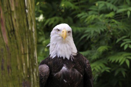 erelis, ereliai, amerikietiškas & nbsp, plikis & nbsp, erelis, paukštis, paukščiai, paukščiai & nbsp, grobis, paukščiai & nbsp, grobis, amerikinis plikis erelis