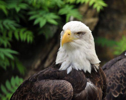 erelis, ereliai, amerikietiškas & nbsp, plikis & nbsp, erelis, paukštis, paukščiai, paukštis & nbsp, grobis, paukščiai & nbsp, grobis, amerikinis plikis erelis # 2