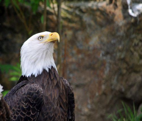 erelis, ereliai, amerikietiškas & nbsp, plikis & nbsp, erelis, paukštis, paukščiai, paukštis & nbsp, grobis, paukščiai & nbsp, grobis, amerikinis plikasis erelis # 3