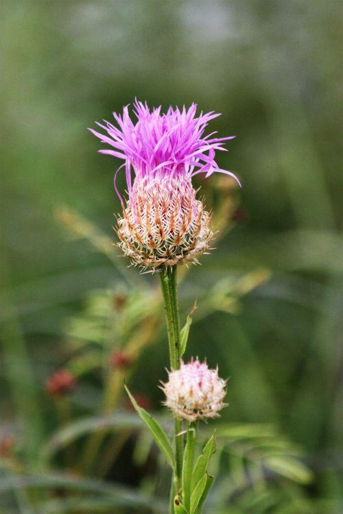 gamta, augalai, gėlės, violetinė & nbsp, gėlė, amerikietiškas & nbsp, krepšelis & nbsp, gėlė, laukinės vasaros spalvos, violetinės spalvos & nbsp, laukinės spalvos, Oklahoma & nbsp, wildflowers, neryškus & nbsp, žalias & nbsp, fonas, amerikietiškas krepšys laukinės spalvos
