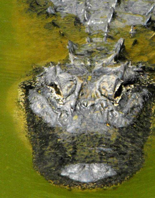 aligatorius, laukinė gamta, manater, vanduo, tvenkinys, amerikietis, amerikietis, american gator 2