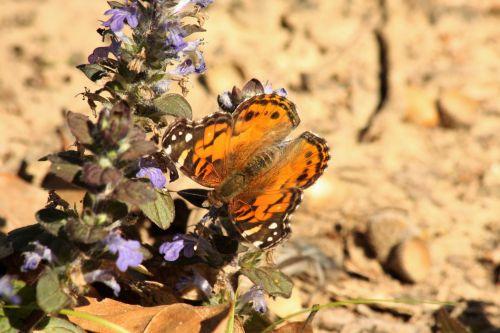 gamta, laukinė gamta, gyvūnai, vabzdžiai, drugelis, oranžinė & nbsp, juoda & nbsp, drugelis, amerikiečių & nbsp, panele, & nbsp, drugelis, sparnai & nbsp, plitimą, sipping, gerti, nektaras, augalai, gėlės, violetinės & nbsp, gėlės, ajuga, lengvas & nbsp, ruda & nbsp, fonas, amerikietiška mergaitės drugelis ant ajugos 2