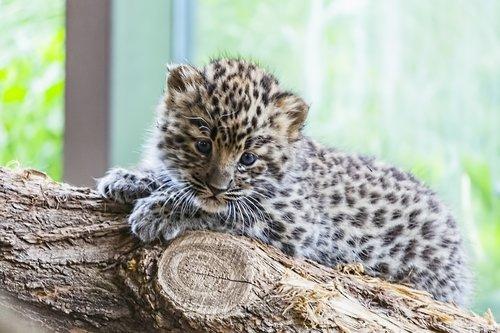 Amūro, amūras leopardas, Amūrinis leopardas kūdikis, leopardas kūdikis, leopardas, Kūdikių, Kūdikių gyvūnų, Wildcat, laukinė katė kūdikis, laukinės katės kūdikių, kačiukas, katė, Miau, mielas, gyvūnas, laukinis gyvūnas