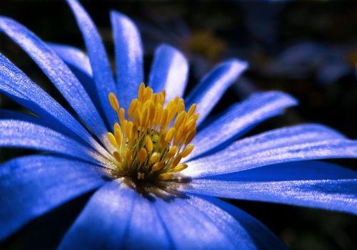 anemonis,mėlynas,augalas,žiedas,žydėti,pavasaris,gėlė,vainikinė anemone,Uždaryti,hahnenfußgewächs,makro,žydėti,anemone coronaria,pavasario gėlė,frühlingsblüher,mėlyni atspalviai,šviesus,Anemone blanda,flora,tuti,gamta,sodas,botanika