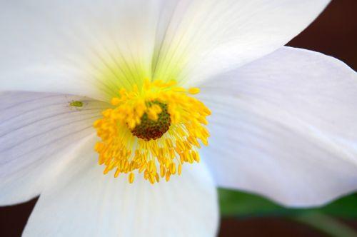 anemonis,balta,gėlė,žydėti,žiedlapiai,dulkės,stigma,tvirtas,žiedadulkės,centras,greenfly,Uždaryti,gamta,makro