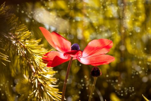 anemonis,raudona,raudonasis anemonis,gėlė,žiedas,žydėti,vainikinė anemone,sodas,Sode,gėlių sodas,vasara,pavasaris,Uždaryti,žydėjo,žydėti,trumpalaikis,saulės šviesa,apšvietimas,gamta,flora,gėlių fotografija