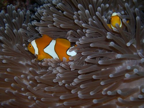 anemonis,žuvis,panardinimas,Clownfish,Sulawesi,Walea