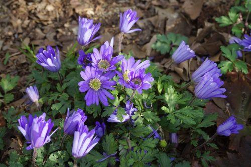 anemonis,gėlės,violetinė,balkan anemone,mėlynas,Anemone blanda,anemone apennina subsp,blanda,hahnenfußgewächs,ranunculaceae,anemone blanda mėlyni atspalviai,mėlyni atspalviai