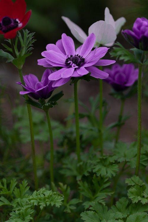 Anemone, Crown Zawilec, gėlė, violetinė, violetinė gėlė, žiedas, žydi, žydi, pavasaris, Iš arti, augalų, sodo Anemone, Sodas, Sode, pobūdį, suklestėjo, žiedlapiai, piestelė, violetinė Anemone