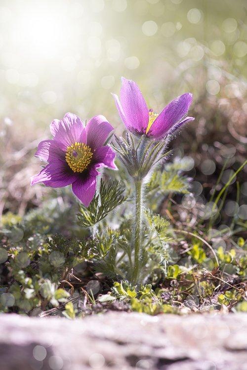 Anemone, gėlė, gėlės, violetinė, violetinė Anemone, violetinė gėlė, gėlė violetinė, pobūdį, Sodas, floros, Iš arti