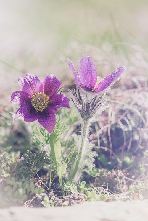 Anemone, violetinė, violetinė Anemone, gėlė, violetinė gėlė, gėlės, gėlė violetinė, pobūdį, floros, pavasaris, Iš arti