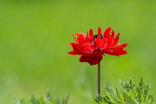 Anemone, raudona, raudona Zawilec, gėlė, raudona gėlė, žiedas, žydi, Pavasario gėlė, pavasaris, pobūdį, floros, Iš arti